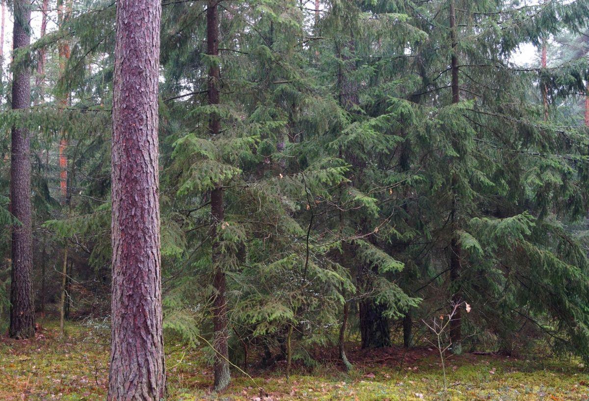 . Siedlisko zniczka w Kampinoskim Parku Narodowym. Autor Danuta Pepłowska-Marczak